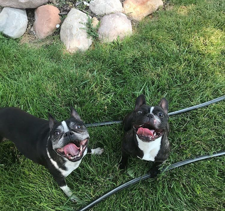 Dakota Sanchez dogs: Stitch the 5 year old Bulldog on the left with Rosie the seven year old blind Boston Terrior on the right